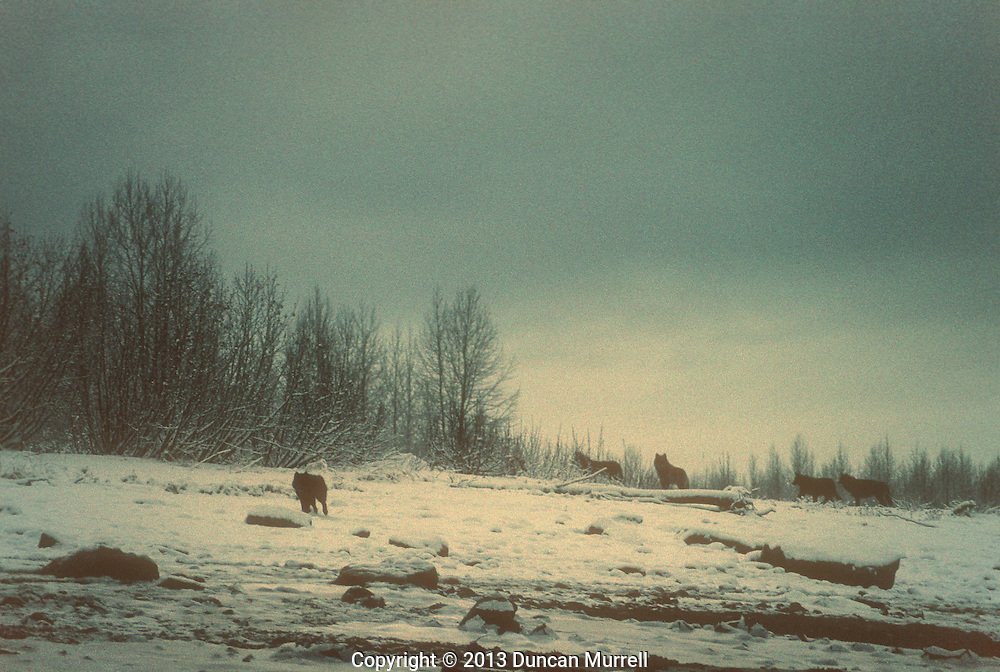 A pack of wolves (Canis lupis) on an island in Adam's Inlet, Glacier Bay National Park and Preserve, Southeast Alaska, USA.<br />