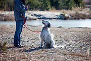 """English Setter """"Rudy"""" lernt von seiner besten Freundin zu """"hören"""" am 25.02. 2018 am Teich von Stara Lysa, (Tschechische Republik).  Rudy wurde Anfang Januar 2017 geboren und ist vor einiger Zeit zu seiner neuen Familie umgezogen."""