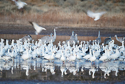 Snow geese and sandhill cranes in pond, Bosque del Apache, National Wildlife Refuge, New Mexico, USA.