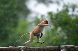 A proboscis monkey walks at Labuk bay, on August 5, 2019 near Sandakan city, State of Sabah, North of Borneo Island, Malaysia. Palm oil plantations are cutting down primary and secondary forests vital as habitat for wildlife including the critically endemic proboscis monkeys. Photo by Emy/ABACAPRESS.COM