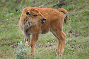 Bison calf in late spring in Yellowstone National Park