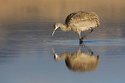 Image captured at the Monte Vista Wildlife Refuge.  Sanhill Cranes nest in Idaho, western Wyoming, Montana and in Canada.