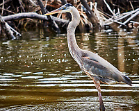 Great Blue Heron. Biolab Road, Merritt Island National Wildlife Refuge. Image taken with a Nikon 1V2 camera, FT1 adapter and  and 70-200 mmf/4  len (ISO 160, 200 mm, f/4, 1/500 sec).