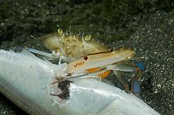 Portunus pelagicus, Schwimmkrabbe frisst totn Fisch, , swimming crab, swimmer crab feeding dead fish, Bali, Indonesien, Indopazifik, Bali, Indonesia Asien, Indo-Pacific Ocean, Asia