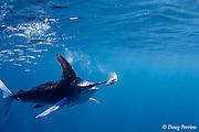 striped marlin, Kajikia audax (formerly Tetrapturus audax ), with sardine impaled on bill while feeding on baitball of sardines or pilchards, Sardinops sagax, off Baja California, Mexico ( Eastern Pacific Ocean )