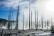 Dead trees form sharp silhouettes against geothermal steam along Artists' Paint Pots Trail in Yellowstone National Park, Wyoming, USA.