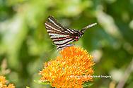 03006-00516 Zebra Swallowtail (Protographium marcellus) on Butterfly Milkweed (Asclepias tuberosa) Marion Co. IL