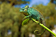 The African chameleon or Sahel chameleon (Chamaeleo africanus) is a species of chameleon native to the Sahel and Nile Valley, with an introduced population present in Greece. An average size may be around 34 cm (13 in) long, including its tail