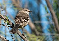 Northern Mockingbird, Mimus polyglottos, in the Riparian Preserve at Water Ranch, Gilbert, Arizona