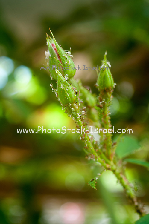A cluster of Rose aphids (Macrosiphon rosae) on a rose stem. Known as plant lice, aphids are specialised plant feeders that suck the sap from plant veins. These female insect bugs are green or pink in colour; they multiply rapidly, and a variety of aphid sizes and ages are evident here. Aphids are serious pests of flowers, vegetables and some fruit trees. Macrosiphon rosae appears in large numbers in spring along the stems and under the leaves of domestic roses.