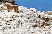 A female puma (Puma con color) also known as a mountain lion or cougar, and her two cubs resting on a stromolite rock outcrop on a lake, Torres del Paine, Chile, South America
