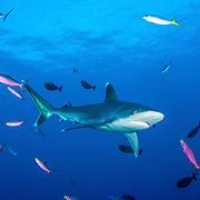 Silvertip shark (Carcharhinus albimarginatus) with reef fish in Kimbe Bay, Papua New Guinea.