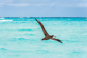 A Black-footed Albatross (Phoebastria nigripes) with wings spread flys over turquoise colored water, Midway Atoll National Wildlife Refuge.