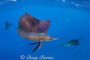Atlantic sailfish, Istiophorus albicans, lit up in excited color phase, hunting sardines, off Yucatan Peninsula, Mexico ( Caribbean Sea ) (dm)