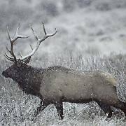 Elk (Cervus canadensis) bull in rut during late fall in Wyoming.