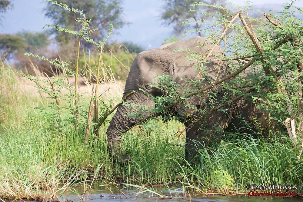 Elephant Eating / Taking Down Vegitation