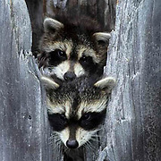 Raccoon, (Procyon lotor) Young coons in hollow tree. Spring. Montana.  Captive Animal.