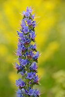 Viper's bugloss, Echium vulgare , North Velebit National Park,  Velebit Nature Park, Rewilding Europe rewilding area, Velebit  mountains, Croatia