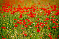 Field of red poppies in full bloom, Provence France