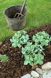 A bed with newly planted sedums mulched with manure in spring
