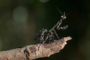 Jeceaba_MG, Brasil.<br /> <br /> Louva-a-deus em Jeceaba, Minas Gerais.<br /> <br /> The mantises or Mantodea in Jeceaba, Minas Gerais.<br />  <br /> Fotos: JOAO MARCOS ROSA / NITRO