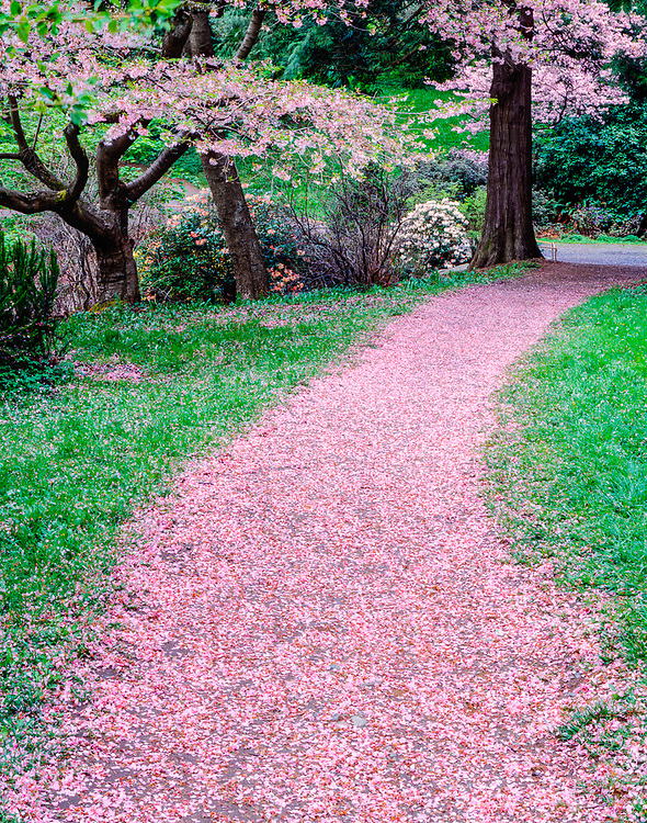 Cherry blossom petals litter a path,, spring, Washington Park Arboretum, Seattle, Washington, USA