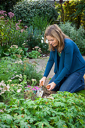 Planting colchicum bulbs in a border using a trowel
