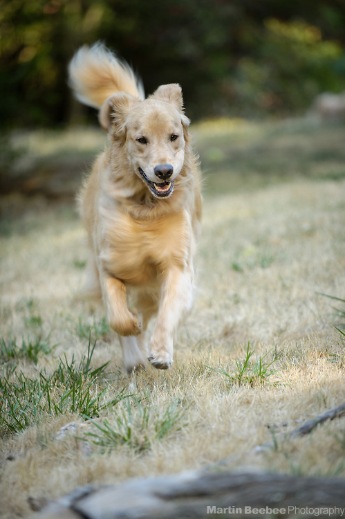 Running golden retreiver