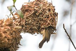 Vitelline Masked Weaver Bird