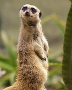 Captive Slender-tailed Meerkat