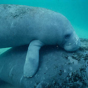 West Indian Manatee, (Trichechus manatus) cow and calf resting in freshwater spring. Florida.
