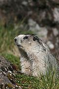 Hoary Marmot, Marmota calligata, closeup, in grass, summer, tundra, shrill whistle when alarmed, inhabits rocky alpine slopes; hibernates in winter, Denali National Park, Alaska, ©Craig Brandt, all rights reserved; brandt@mtaonline.net