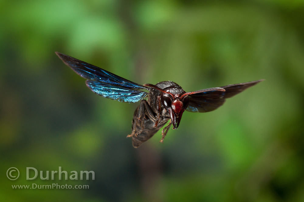 A colorful potter wasp (Vespidae) photographed with a high-speed camera in Matobo National Park, Zimbabwe. © Michael Durham / www.DurmPhoto.com.