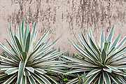 Decorative agave plants in front of a plastered wall in Port Vila, Vanuatu.
