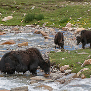 Yaks in a stream in the foothills of Tibet. Asia