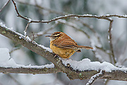 The Carolina wren (Thryothorus ludovicianus) is a common species of wren found in the eastern half of the United States, the extreme south of Ontario, Canada, and the extreme northeast of Mexico. Their preferred habitat is in dense cover in forests, farm edges and suburban areas. However, Carolina wrens are wary, and are more often heard than seen This wren is the state bird of South Carolina.<br /> There are seven recognized subspecies of the Carolina wren each with slight differences in song and appearance. The Carolina wren is 12.5 to 14.0 cm (4.9 to 5.5 in) long, with a 29 cm (11 in) wingspan and a weight of about 18 to 23 g (0.63 to 0.81 oz).  It is the second largest wren in the United States after the cactus wren.  Carolina wrens raise multiple broods during the summer breeding season.  This photograph captures the elusive wren enduring a winter snowstorm in Belmont, Massachusetts.