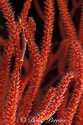 arrow shrimp, needle shrimp or <br /> long-nosed shrimp, Tozeuma sp.,<br /> on red whip coral or gorgonian soft coral,<br /> Mabul Island, off Borneo, Sabah, <br /> Malaysia ( Celebes Sea )