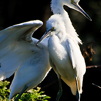 Wild fledgling snowy egret (Egretta thula) siblings jockey for position on a branch, St. Augustine Alligator Farm Rookery, Anastasia Island, St. Augustine, Florida.
