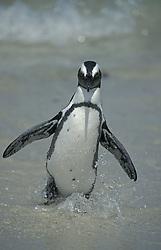 June 16, 2015 - Jackass Penguin, Boulders Beach, South Africa  (Credit Image: © Tuns/DPA/ZUMA Wire)