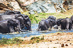 Elephant Bath. Good times at the waterhole for this herd of elephants in Kruger National Park