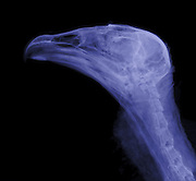 An xray of the head of a Turkey vulture (Cathartes aura).