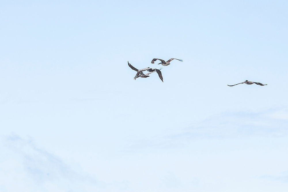 Pelicans flying over the Marin Headlands, California, USA.