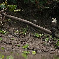A Crested Eagle (Morphnus guianensis) perches on a branch above the Yanayacu River in Peru's Amazon Jungle.
