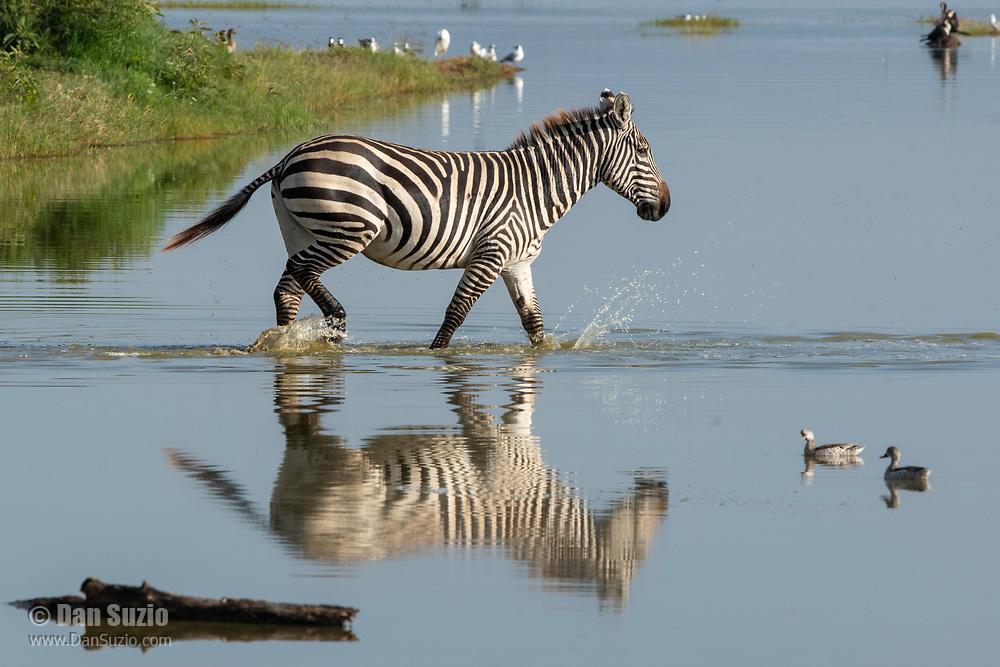 Grant's Zebra, Equus quagga boehmi, walks through shallow water at the edge of Lake Nakuru in Lake Nakuru National Park, Kenya