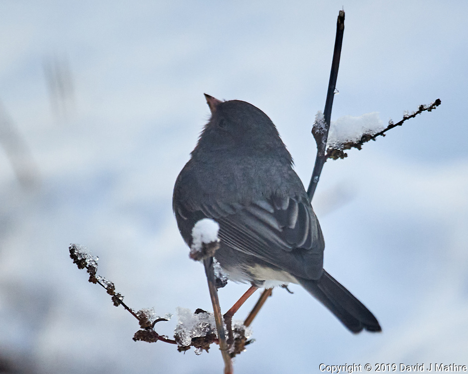 Dark-eyed Junco (Junco hyemalis). Image taken with a Nikon D5 camera and 600 mm f/4 VR lens
