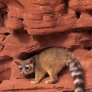 Ringtail, (Bassariscus astutus) In canyonlands of southern Utah. Captive Animal.