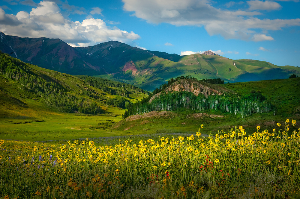 Sunflowers and verdant mountain meadow, summer in Crested Butte, Colorado
