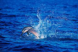 long-snouted spinner dolphin calf jumping, Stenella longirostris, Kona, Big Island, Hawaii, Pacific Ocean.