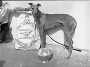 Greyhound and Pups.    (M81)..1979..12.07.1979..07.12.1979..12th July 1979..Pictured at Saggart, Co Dublin,was a champion greyhound and her pups. The dogs were reared using Spratts Dog Foods..Image shows the greyhound posed with the complete biscuit meal for dogs by Spratts.