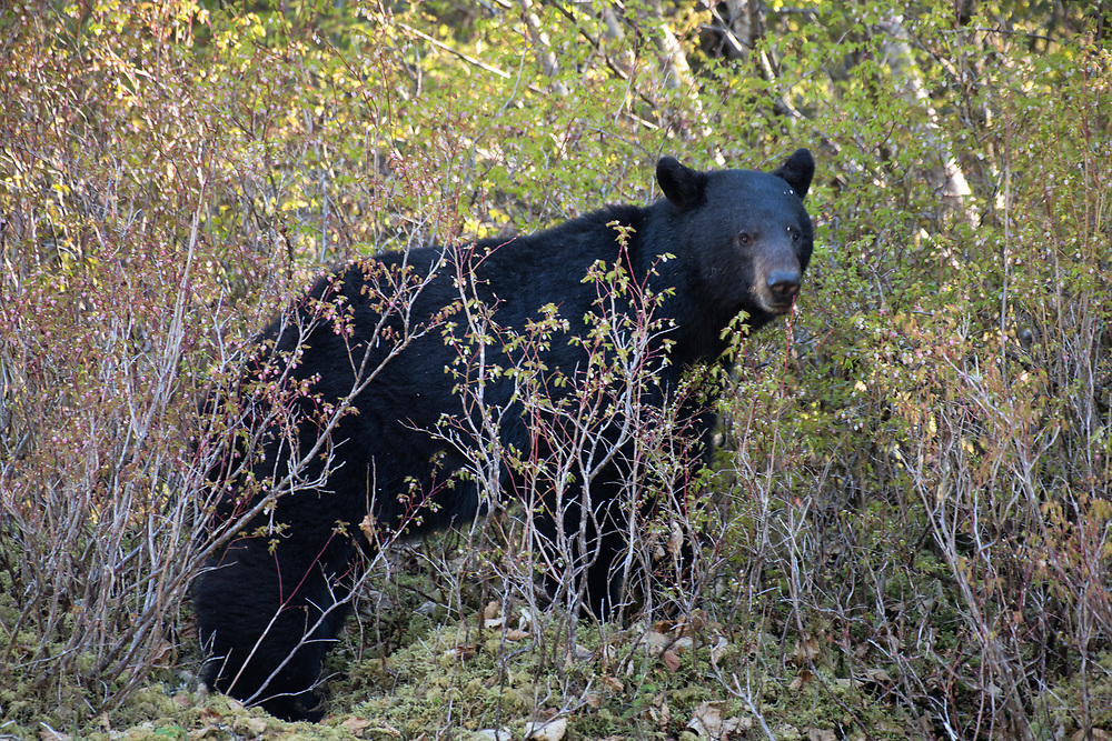 A black bear stands in a blueberry patch, pausing a moment between eating blueberry blossoms.